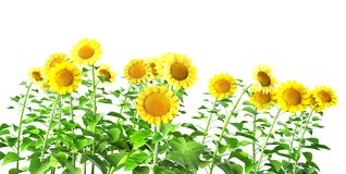 Sunflowers isolated on white. Background. Isolation as additional in png format royalty free stock images