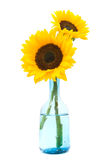 Sunflowers isolated on white Stock Photos