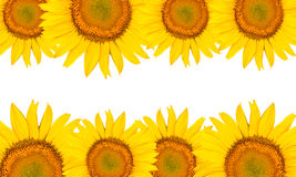 Sunflowers isolated on white Royalty Free Stock Image