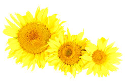 Sunflowers isolated on the white Royalty Free Stock Photography
