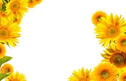 Sunflowers isolated on white Royalty Free Stock Photography