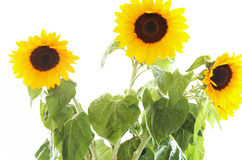 Sunflowers isolated. Sunflowers on the white background Stock Photography