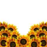 Sunflowers isolated on white Stock Photography