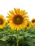 Sunflowers isolated on white background Stock Photo