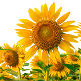 Sunflowers isolated on white background with clipping path Stock Photography