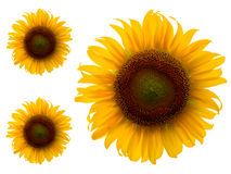 Sunflowers isolated on white background, Unseen Thailand flowers. Royalty Free Stock Image