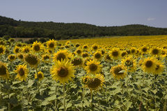 Sunflowers in italy Royalty Free Stock Image