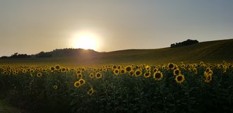 Sunflowers in Italy royalty free stock photography