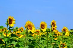 Sunflowers at italy Stock Image
