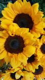 Sunflowers for a lady Stock Images