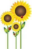 Sunflowers and Ladybirds. 3 Sunflowers and 3 Ladybird beetles Stock Image