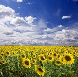 Sunflowers landscape Royalty Free Stock Image