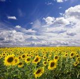 Sunflowers landscape Stock Photos