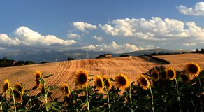 Sunflowers landscape. Landscape of sunflowers field captured in Pollenza / Macerata / Marche / Italy Stock Images