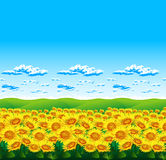 Sunflowers landscape in summer. Yellow sunflowers and sun in summer Stock Images