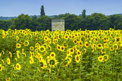 Sunflowers in Languedoc-Roussillon (France) Royalty Free Stock Images