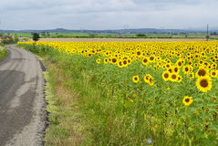 Sunflowers in Languedoc-Roussillon (France) Stock Image