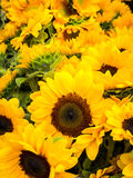 Sunflowers. A large bunch of smallish sunflowers for sale at the Clement Street Farmer's Market in San Francisco stock photos