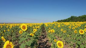 A large field of sunflowers, large yellow flowers, shooting from a drone