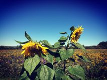 Sunflowers. Late summer field in upstate New York Stock Image