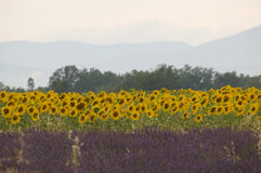 Sunflowers and Lavender Royalty Free Stock Image