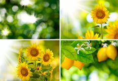 Sunflowers and lemons in the garden close up Royalty Free Stock Photos