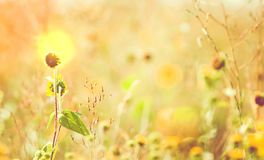 Sunflowers in Light. Sunflowers in a meadow glow with the morning sunrise Royalty Free Stock Photo