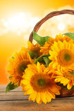 Sunflowers in linen basket Royalty Free Stock Photo