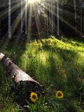 Sunflowers lit by sun rays shining through the forest Royalty Free Stock Photography