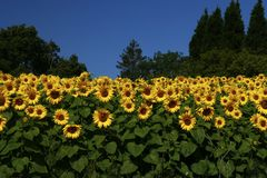 Sunflowers planted together. Sunflowers looking spectacular planted together as a screen Royalty Free Stock Photos