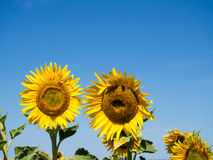 Sunflowers. Looking to the sun south east Queensland, Australia Royalty Free Stock Image