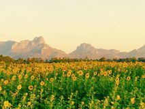 Sunflowers. At lopburi thailand Stock Photo