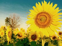 Sunflowers. At lopburi thailand Royalty Free Stock Image