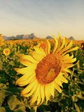 Sunflowers. At lopburi thailand Royalty Free Stock Photos