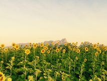 Sunflowers. At lopburi thailand Royalty Free Stock Photography