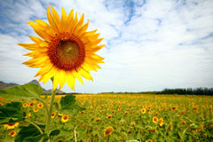 Sunflowers in Lopburi, Thailand Stock Photos