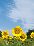 Sunflowers with low view point. Sunflowers and blue sky in summer Stock Photography