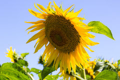Sunflowers. Maturing field with sunflowers summer Royalty Free Stock Images