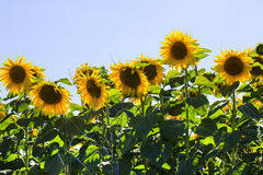 Sunflowers. Maturing field with sunflowers summer Royalty Free Stock Photography