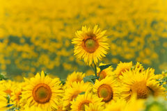Sunflowers meadow with one above others Royalty Free Stock Image