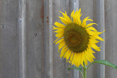 Sunflowers are on the metal sheet Stock Photos