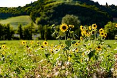 Sunflowers in Monferrato Italy stock photos