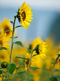 Sunflowers in the morning. Meadow of sunflowers in the morning royalty free stock photography