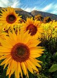Sunflowers on a mountain royalty free stock photography