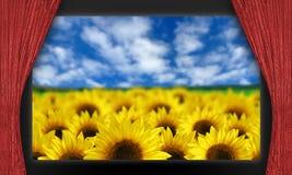 Sunflowers on movie theater screen. Sunflower field against blue skies on movie theater screen behind red velvet curtains Stock Photo