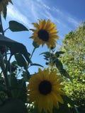 Sunflowers. In my garden Stock Photos