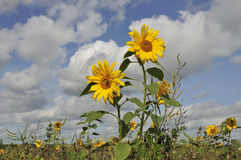 Sunflowers in a natural field Royalty Free Stock Image