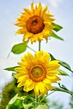 Sunflowers on natural sky beackground Stock Images