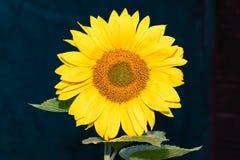 Sunflowers near the house Stock Photography