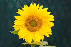 Sunflowers near the house Royalty Free Stock Images